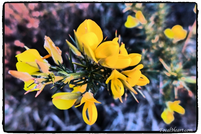 Gorse Flower_web_signed