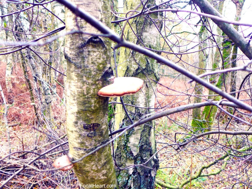 Birch Polypore2