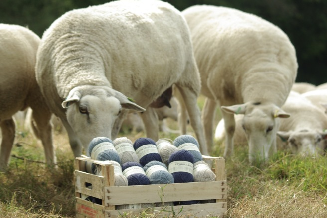 Plawhatch sheep and Yarn