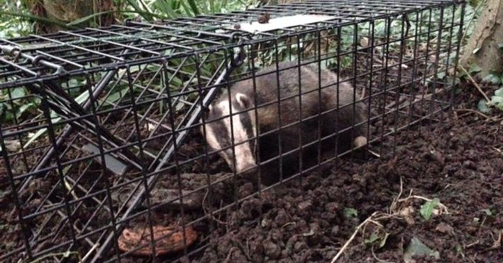 trapped badger