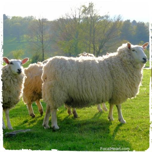 Lleyn Sheep plawhatch