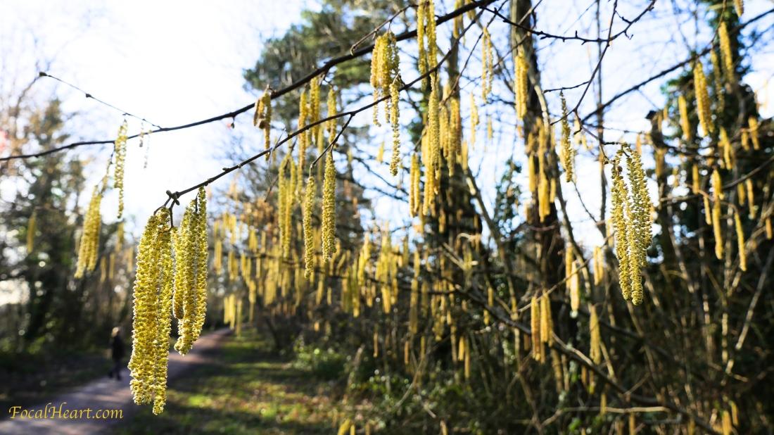 yellowseeds