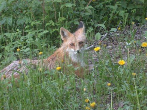 fox dandelions