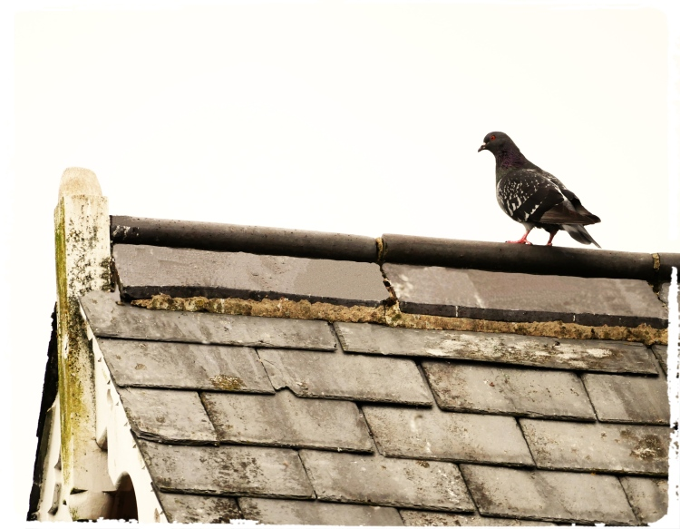 King Pigeon_Fotor