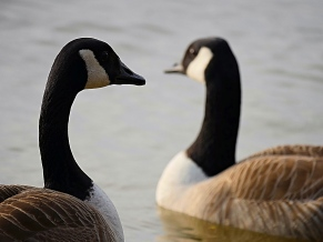 canadian geese1